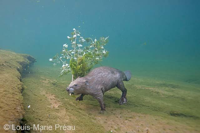 Beavering
