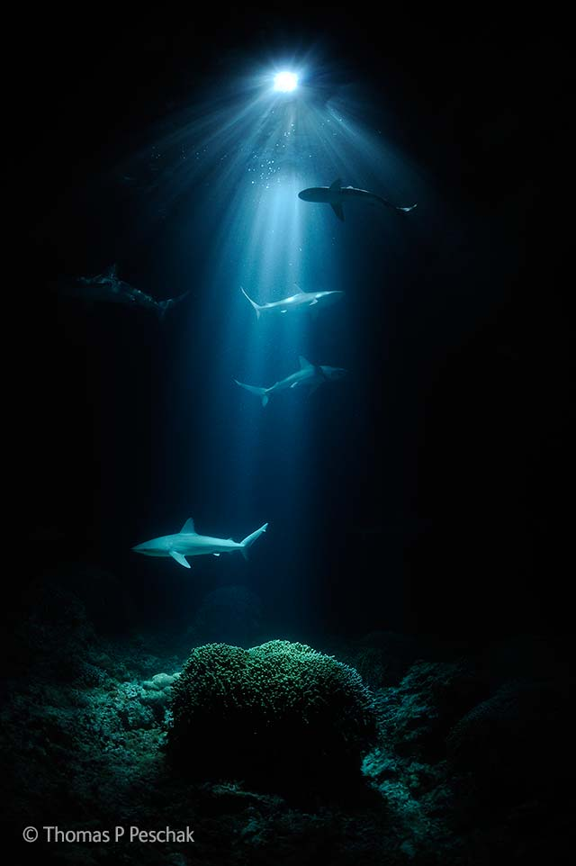 Night sharks