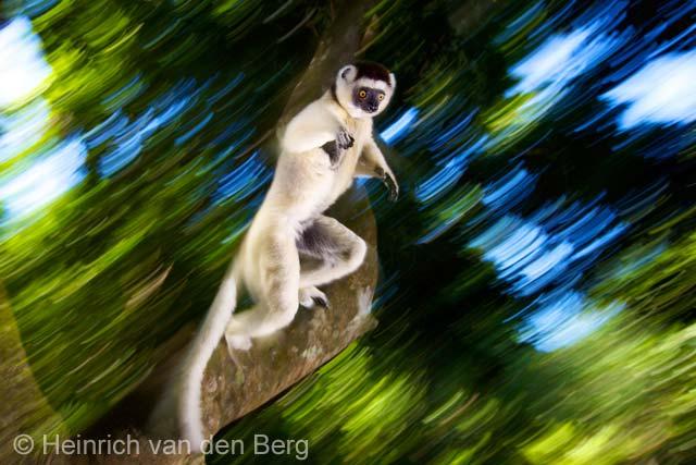 Leaping lemur