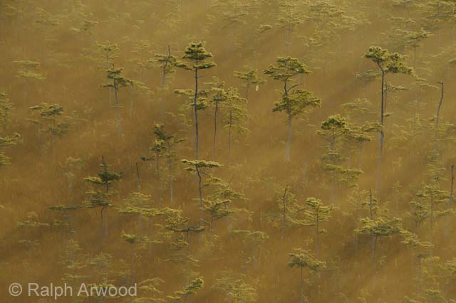 Cypress swamp in a golden dawn