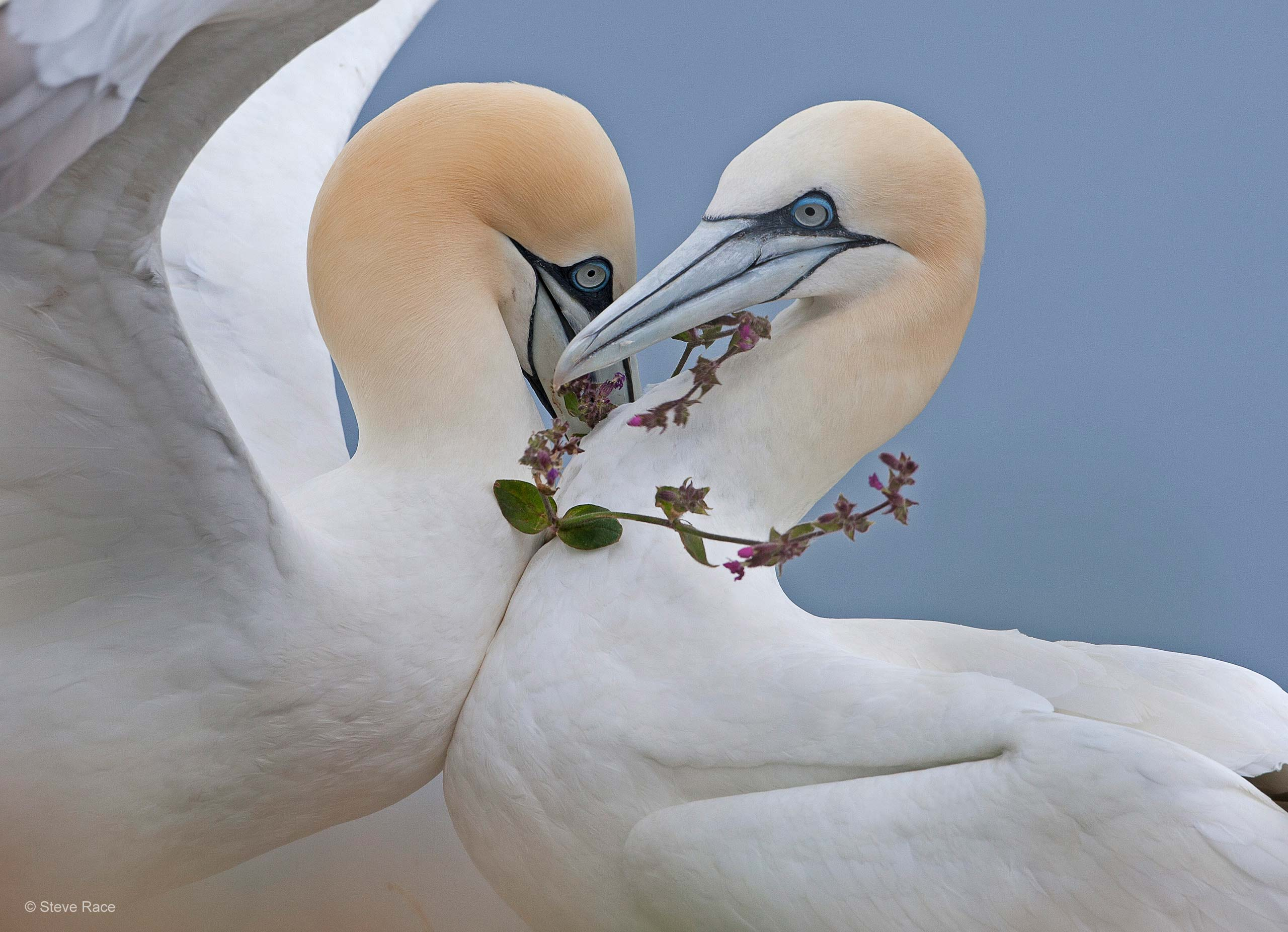 Gannet couple with flowers, photo credit: Steve Race © - yorkshirecoastnature.co.uk