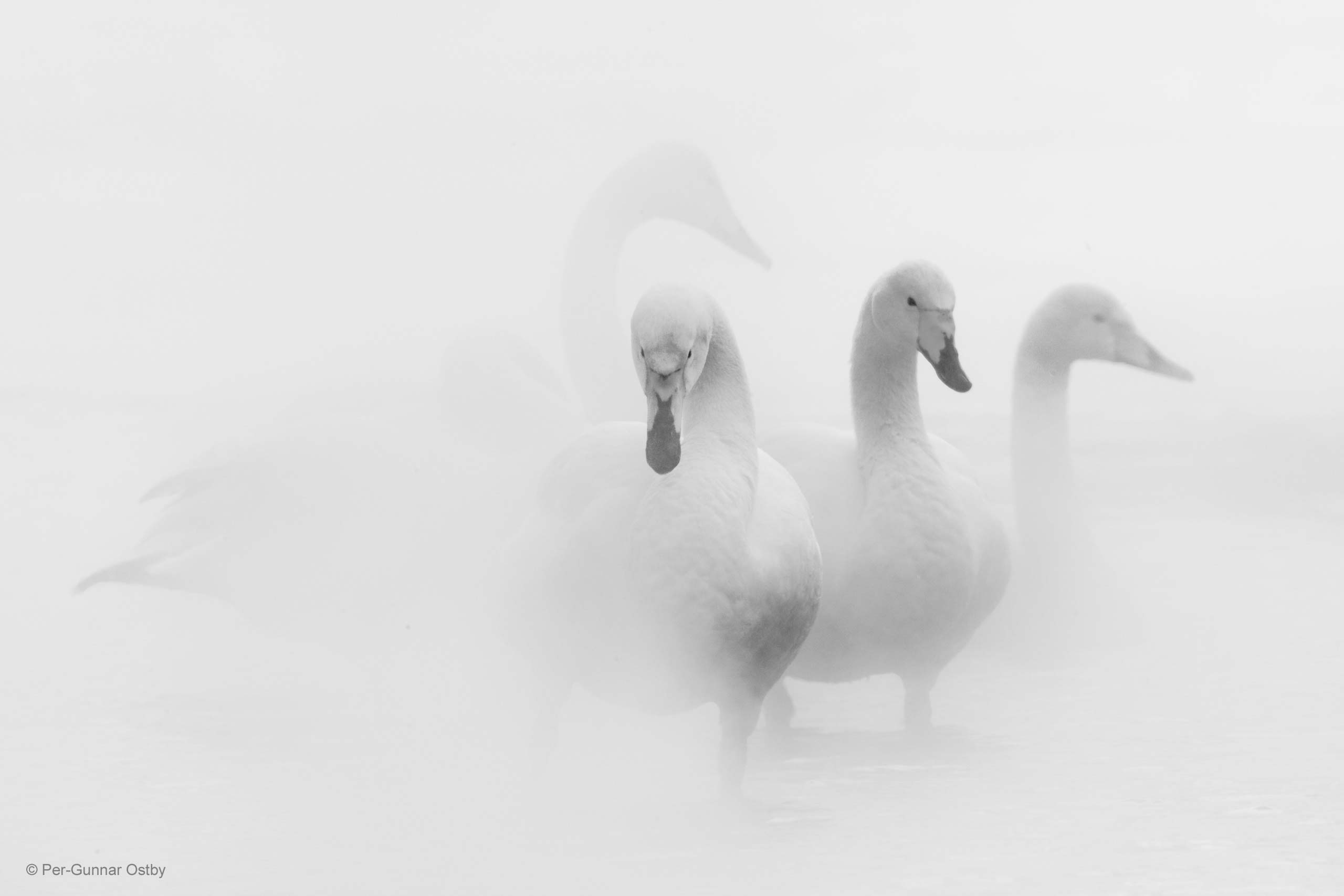 swan lake per gunnar ostby nature in black and white