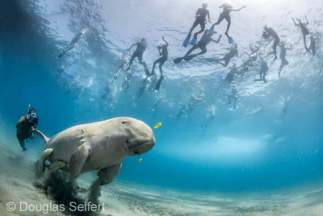 The pull of a dugong