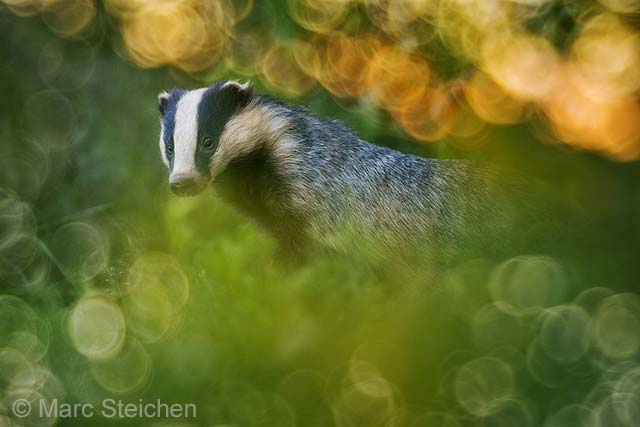 Badger dream scene