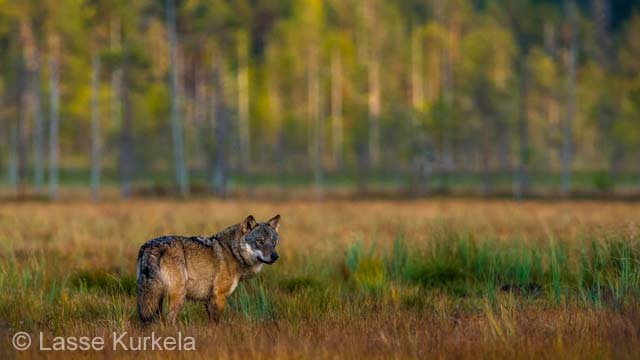 Wolf moment