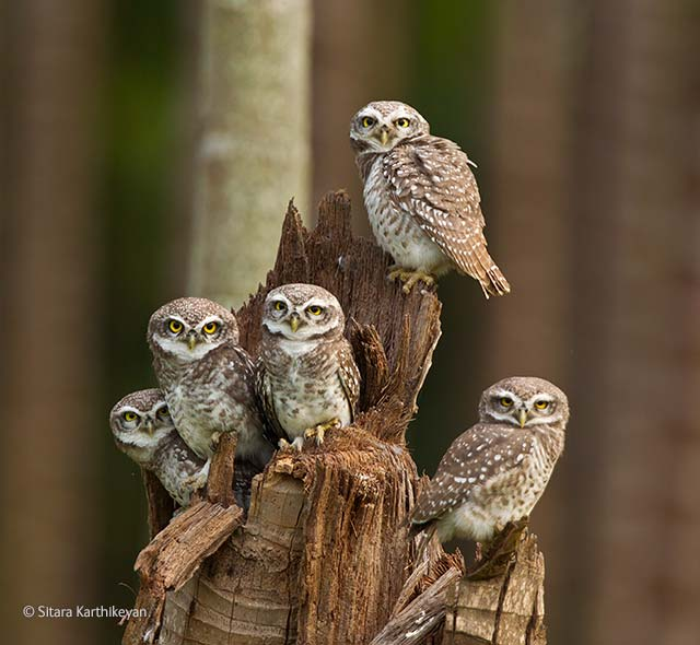 Owlets united