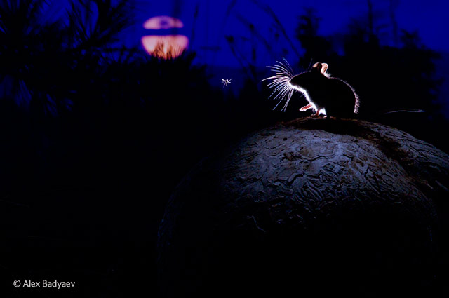 The mouse, the moon and the mosquito