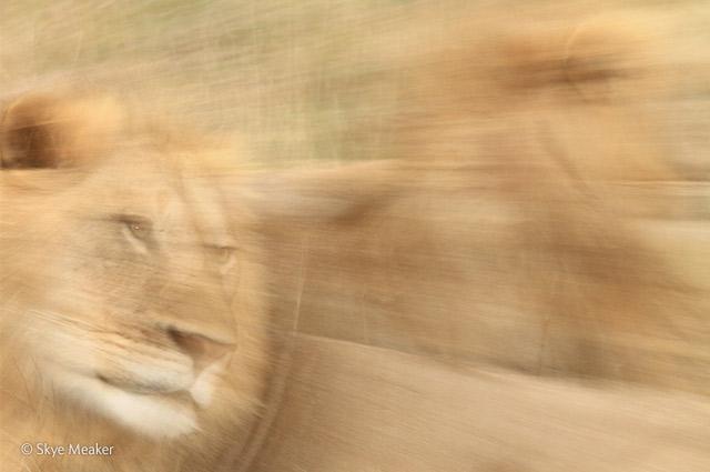 Vanishing lions