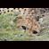 The watchful cheetah