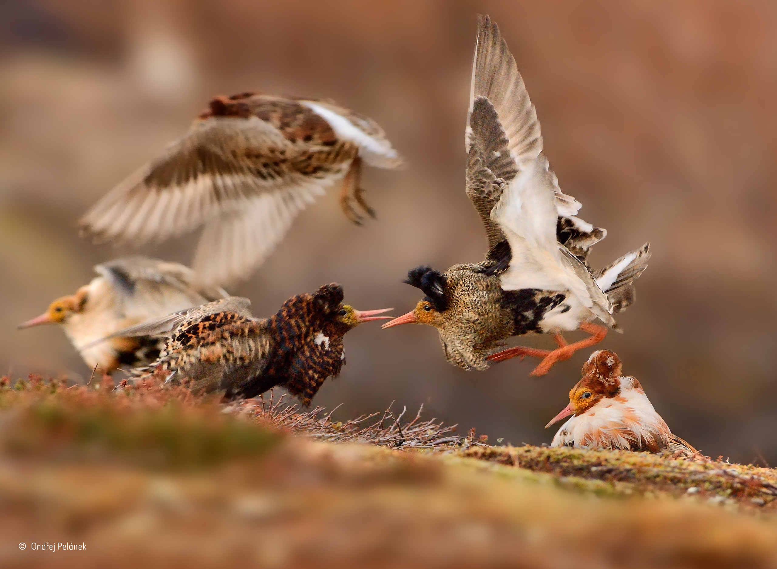 Ruffs On Display Ondřej Pelánek Years Old Wildlife - Amazing winners from the 2016 british wildlife photography contest