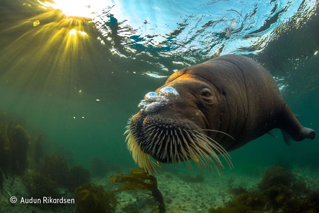 Walrus in the midnight sun