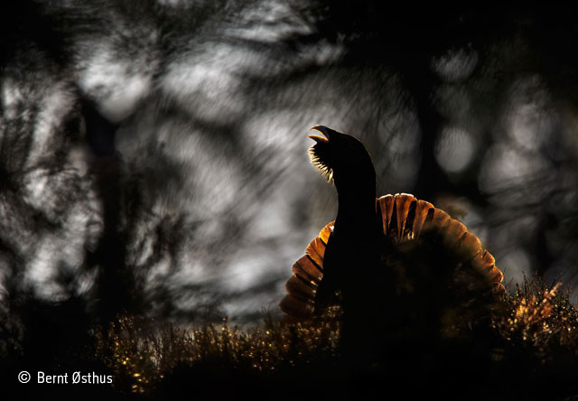 Strutting capercaillie
