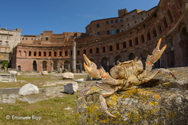 The gladiator crab