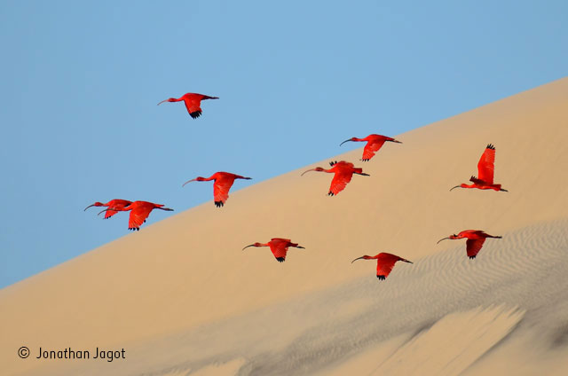 Flight of the scarlet ibis