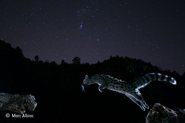 A genet feat of a leap