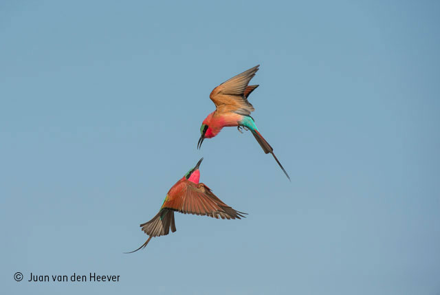 Battle of the bee-eaters