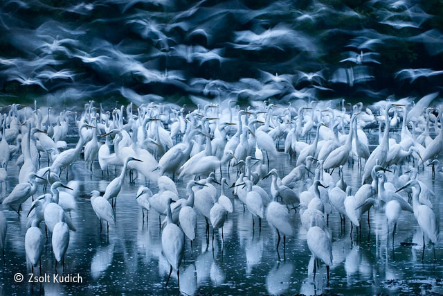 Great egret awakening