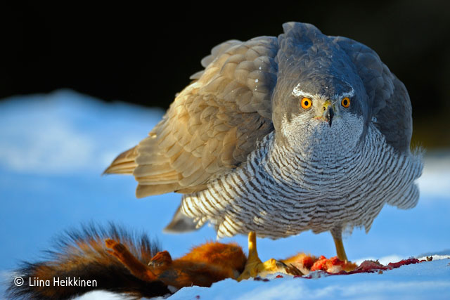 The stare of a goshawk