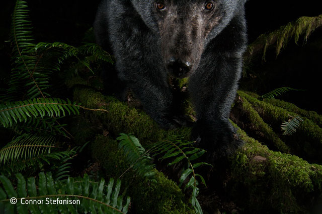 A black bear looks in