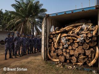 Ivory haul
