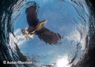 Sea eagle snatch