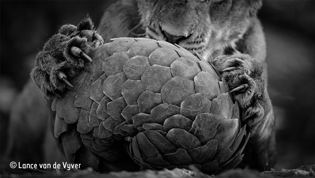 Playing pangolin