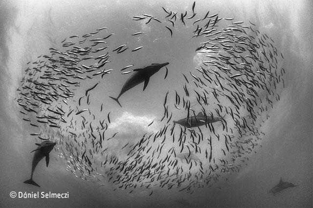 The sardine round-up