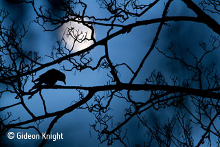 The Moon and the crow