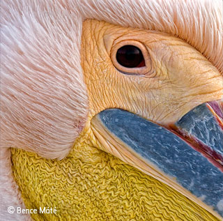 Portrait of a pelican
