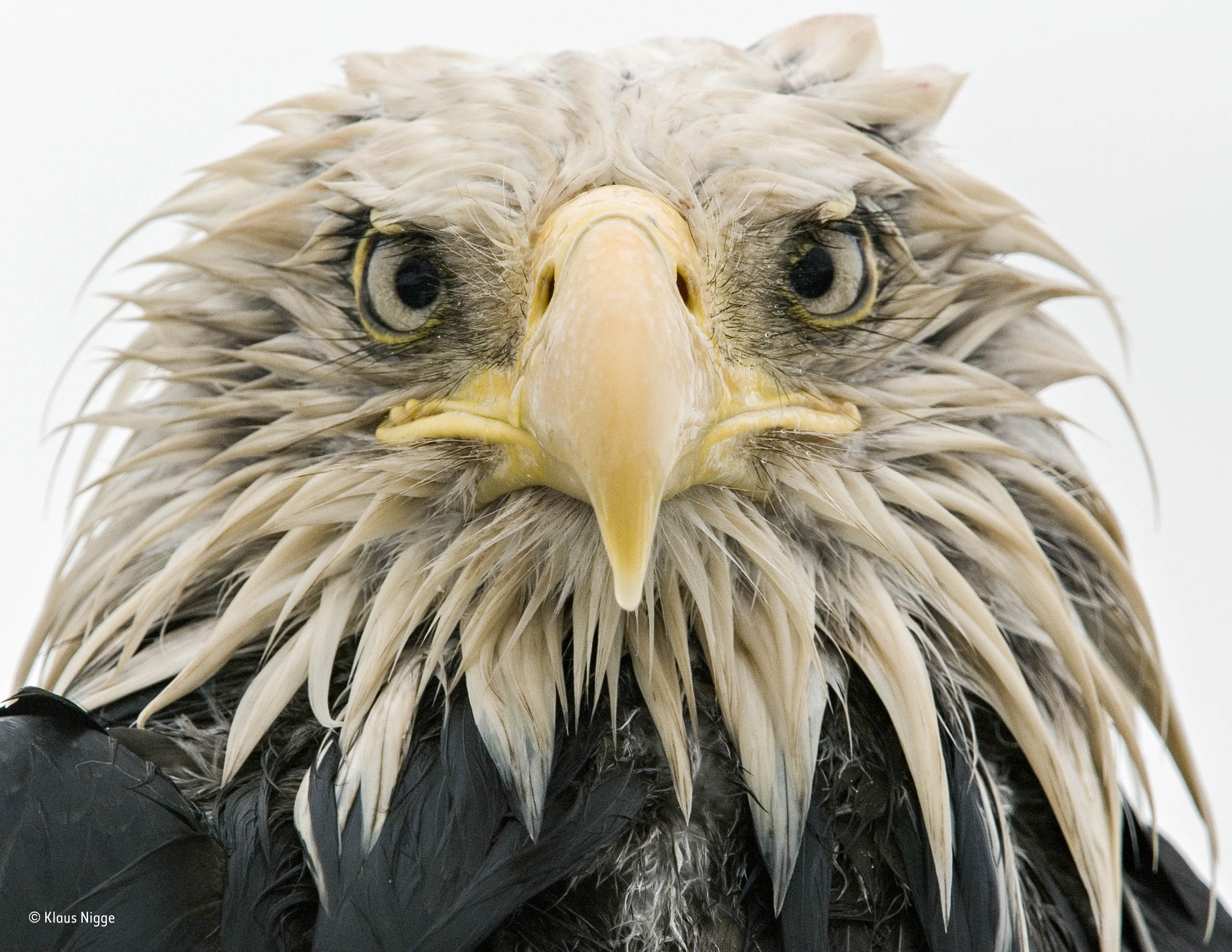Bold eagle | Klaus Nigge | Animal Portraits | Wildlife Photographer ...