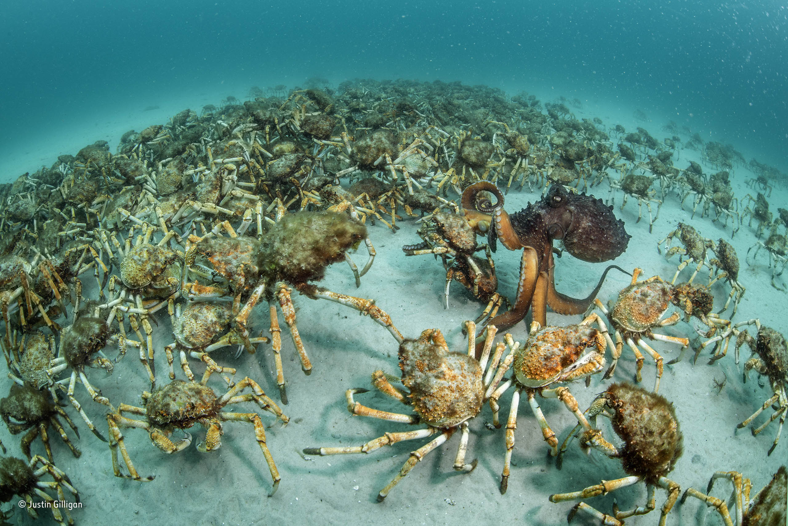 crab surprise justin gilligan behaviour invertebrates