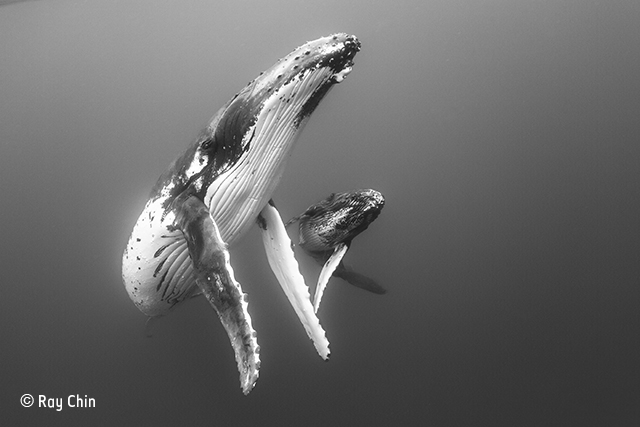 Elegant mother and calf