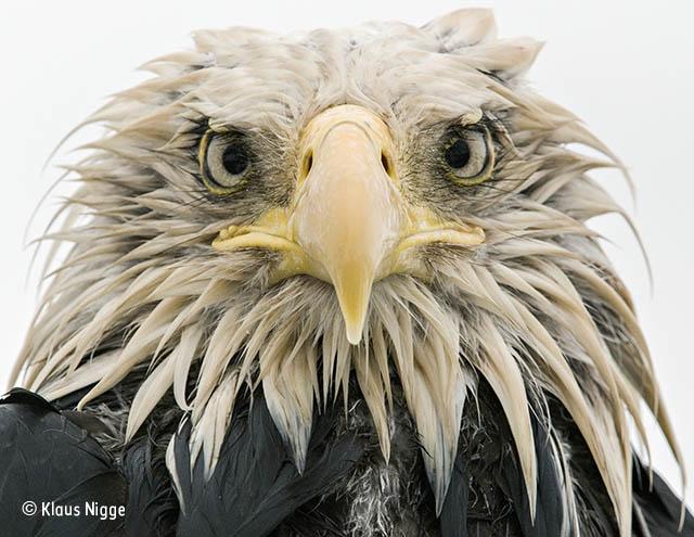 Bold eagle