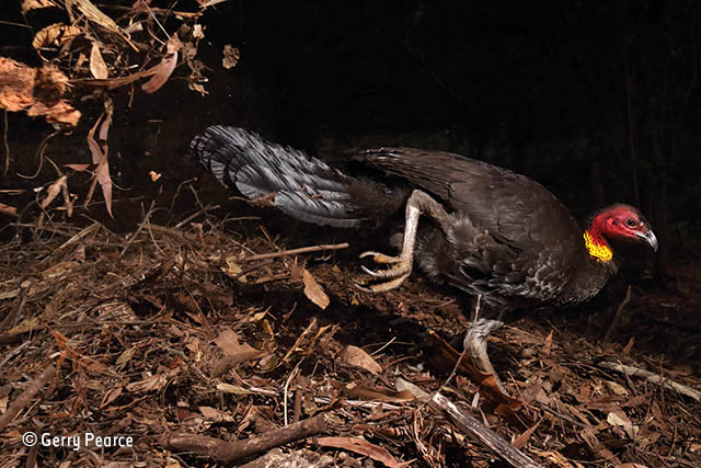 The incubator bird