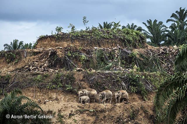 Palm-oil survivors