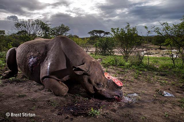 Rhino Horn: The ongoing atrocity