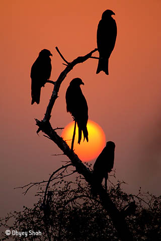 Black kites, red sunset
