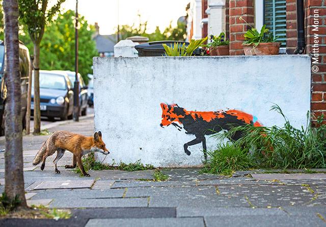 Fox Meets Fox