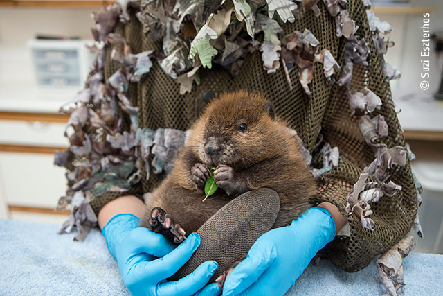 The Orphaned Beaver