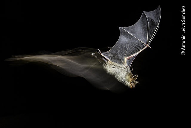 The Bat's Wake