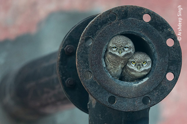 Pipe Owls