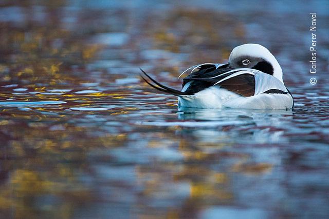 Duck of Dreams