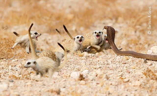 The Meerkat Mob