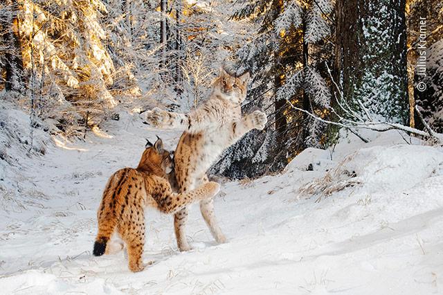 Kitten Combat