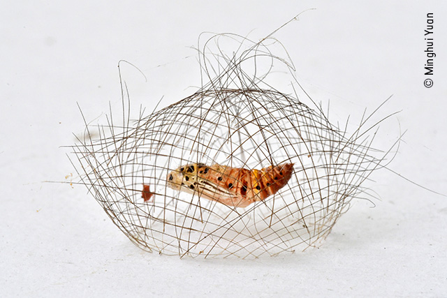 The Hair-net Cocoon