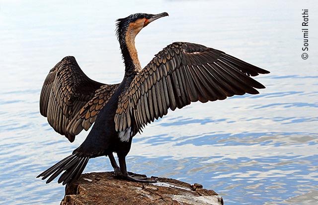 Great Cormorant Dry-off