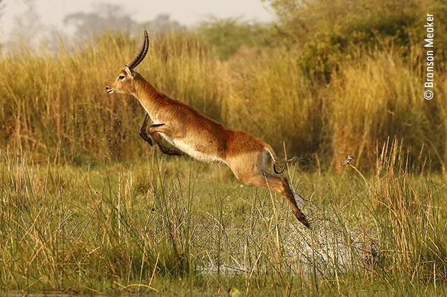 The Aquabatic Antelope