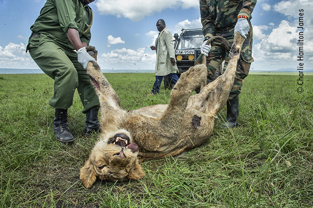Lion Clearance