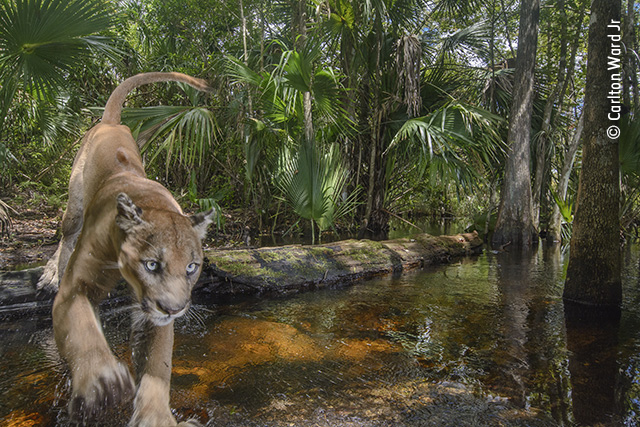 New Hope for the Florida Panther