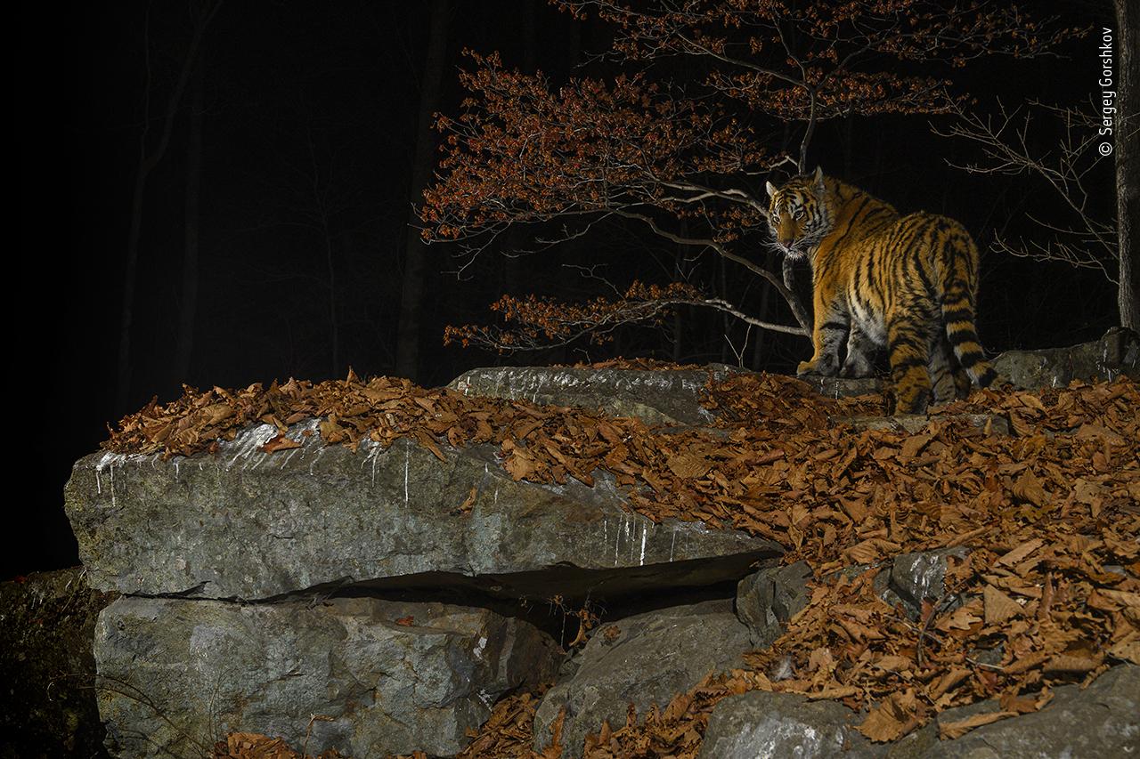 Taiga Tiger in the Night